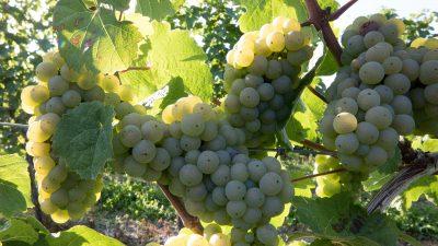 Wijnproeverij van Riesling wijnen